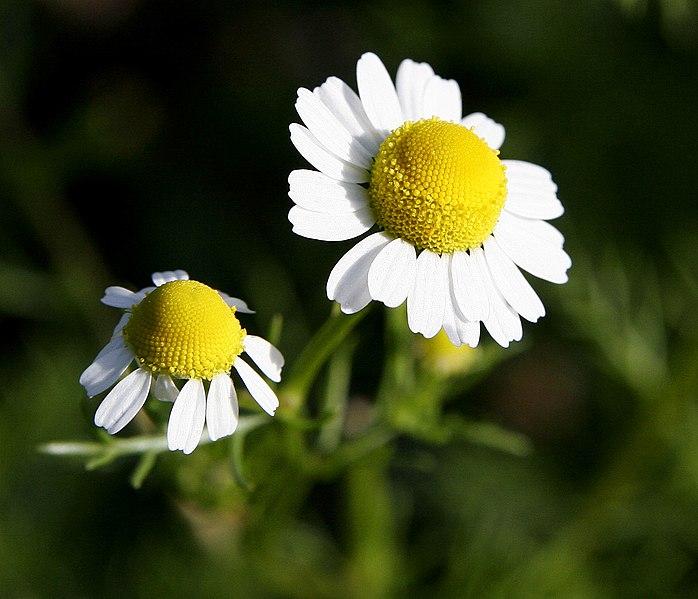 les capitules d'une fleur