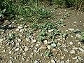 Chenopodium vulvaria sl122.jpg