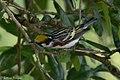 Chestnut-sided Warbler (male) Anahuac NWR-Jackson Prairie Woodlot TX 2018-04-24 15-03-18-2 (28184684408).jpg