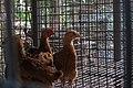 Chicken inside Chicken coop - IMG 3105.jpg