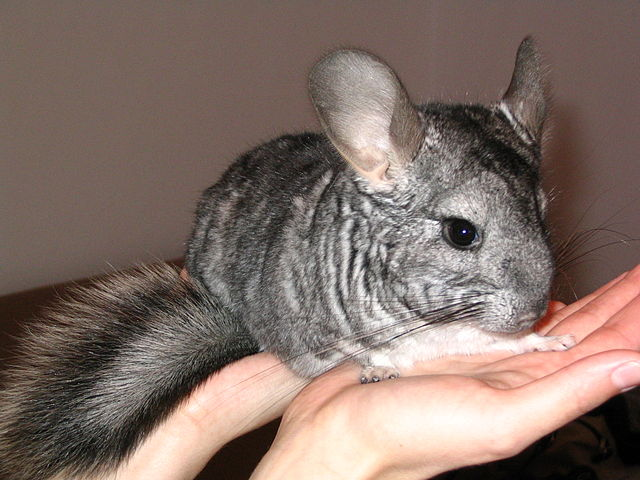 dating chinchilla Chinchilla love is a channel featuring chinchillas, the cutest and most adorable pets on the internet this channel is dedicated to all those who are interes.