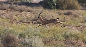 Chinkara - Chinkara in the Desert National Park, Rajasthan, India