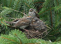 Chipping Sparrow with nestlings.jpg