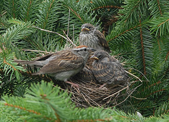 Chipping sparrow - An adult and nestlings in a tree nest