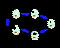 Chlamydophila psittaci livscykel.png