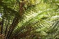 Christchurch Botanic Gardens, New Zealand section, Dicksonia fibrosa 2016-02-04-2.jpg