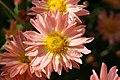 Chrysanthemum Dee Samba 0zz.jpg