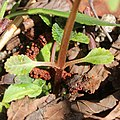 Chrysosplenium nagasei (leaf s6).jpg