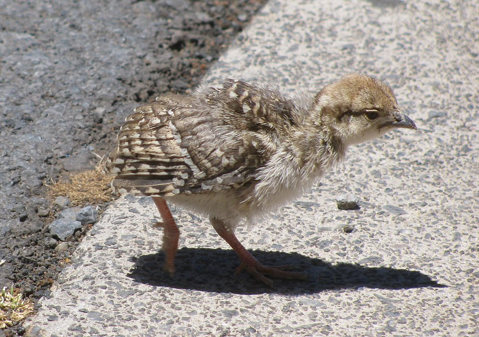 Chukar chick-HVC parking lot HNP (9285063049)