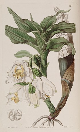Chysis bractescens - Edwards vol 27 (NS 4) pl 23 (1841).jpg