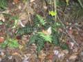 Cinnamon-Ferns.png