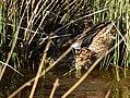 Cinnamon teal at Seedskadee National Wildlife Refuge (42026963221).jpg