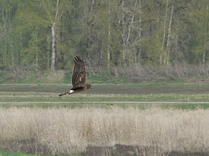 Panasonic Lumix DMC-FZ5 - The long focal length, short shutter delay and image stabilization contribute to the quality of this image of a Northern Harrier in flight
