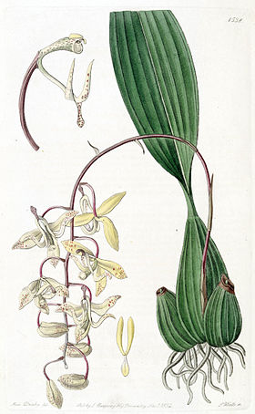 Cirrhaea loddigesii - Edwards vol 18 pl 1538 (1832).jpg