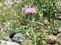 Cirsium arvense - Creeping Thistle on way from Gangria to Govindghat at Valley of Flowers National Park - during LGFC - VOF 2019 (12).jpg