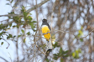 Citreoline trogon species of bird