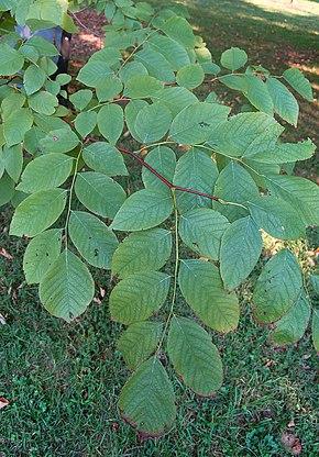 feuilles en été du virgilier
