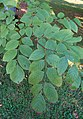 Cladrastis kentukea Yellowwood Branch 2000px.jpg