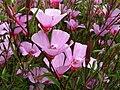 Clarkia rubicunda subsp. blasdalei.jpg