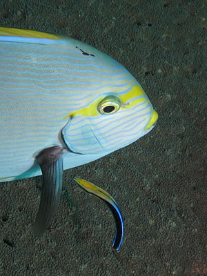 Bluestreak cleaner wrasse - Image: Cleaner wrasse with a client