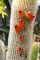 Cleistocactus brookeae pm1.jpg