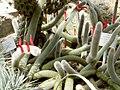 Cleistocactus vulpis-cauda.jpg