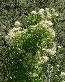 Clematis ligusticifolia 1.jpg