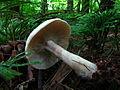 Clitopilus prunulus, Strouds Run State Park 2.jpg