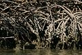 Close view of red mangrove roots.jpg