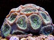 Closed Brain Coral copy.jpg