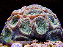 Closed Brain Coral copy.jpg