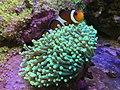 Clownfish Named Nemo 20170628.jpg