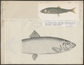 Clupea harengus - 1817-1841 - Print - Iconographia Zoologica - Special Collections University of Amsterdam - UBA01 IZ15100030.tif