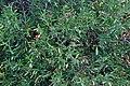 Cneorum tricoccon in Jardin botanique de la Charme 02.jpg