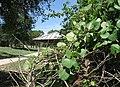 Cocculus Carolinus, Carolina Snailseed - panoramio.jpg
