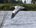 Cocoi Heron (Ardea cocoi) - Flickr - Lip Kee (1).jpg