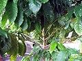 Coffea arabica 4zz.jpg