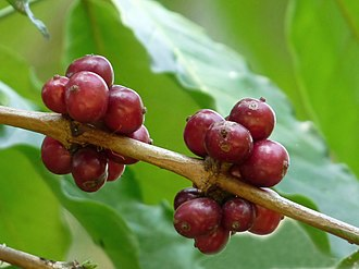 Coffea canephora - Ripe berries