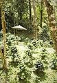 Coffee farm near Cachipay 02.jpg