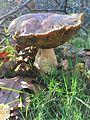 Cogumelos do Geres (22988654050).jpg