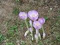 Colchicum byzantinum003.jpg