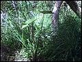 Colocasia esculenta 'Fontanesii' (L.) Schott (AM AK302116-4).jpg
