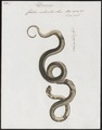 Coluber melanotus - - Print - Iconographia Zoologica - Special Collections University of Amsterdam - UBA01 IZ12100163.tif