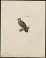 Columba elphinstonii - 1820-1860 - Print - Iconographia Zoologica - Special Collections University of Amsterdam - UBA01 IZ15600181.tif