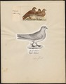 Columba livia - 1700-1880 - Print - Iconographia Zoologica - Special Collections University of Amsterdam - UBA01 IZ18900117.tif