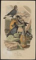 Columba livia - 1838 - Print - Iconographia Zoologica - Special Collections University of Amsterdam - UBA01 IZ18900105.tif