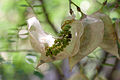 Colutea orientalis - Jeunes fruits.jpg