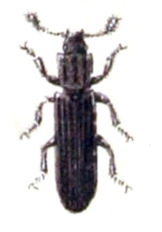 Colydiinae - Colydium elongatum of the tribe Colydiini