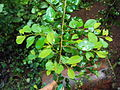 Commiphora wightii 10.JPG