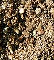 Common Antlion Myrmeleon immaculatus nymph.jpg